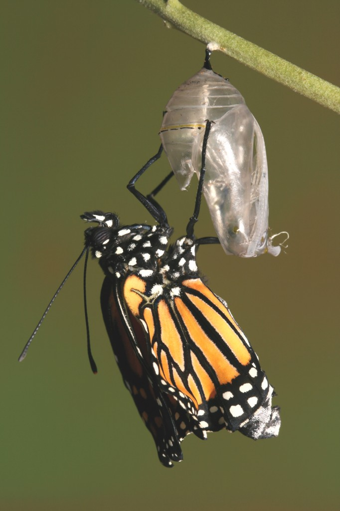http://www.dreamstime.com/royalty-free-stock-images-monarch-butterfly-emerging-its-chrysalis-image2010769