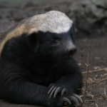 Live and Lead Like a Honey Badger