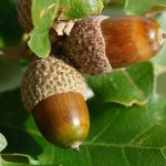 Acorns and Oak Trees